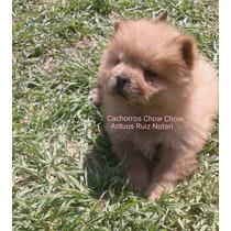 Cachorra Chow Chow Roja. Hago Envios!