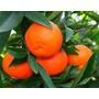 Mandarinas Clemedule