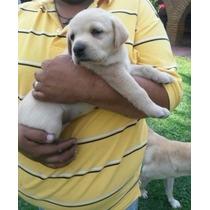 Labrador Cachorros De Exposicion