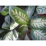 Tropic- Aglonema- Plantas De Interior Vivero La Casita