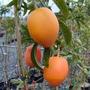 Sementes De Maracujá Doce Fruta Passiflora Alata Para Mudas