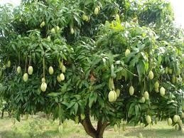 1 arbol de mango variedades ni o tommy ataulfo manila for Arboles frutales de hoja perenne para jardin