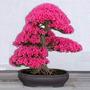 Bonsai Tree Japanese Sakura Seed10 Cherryblossoms