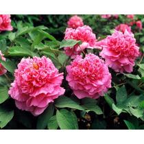 Sementes Rosa Gigante Paeonia Suffruticosa Mix Peonia Mudas