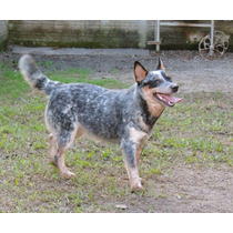 Fêmea Australian Cattle Dog Com Pedigree Cbkc