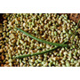 Feijão Verde Seco Nutritivo Saboroso - 200 Sementes
