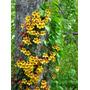 Bignonia Capreolata E04 Trepadora Muy Rara. Envíos