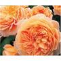 Rosas Inglesas
