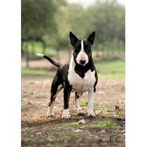 Bull Terrier Importado De Inglaterra En Servicio De Stud