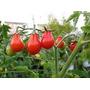 Semillas Tomate Pera Flores Exoticas