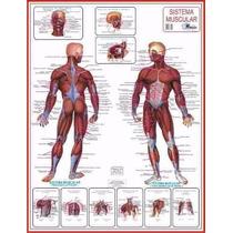 Mapas Do Corpo Humano 120x90cm Enrolados. A Sua Escolha.