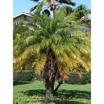 Muda De Palmeira Fênix - 15 A 25cm - 12x S/ Juros!