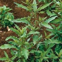 30 Semillas De Chenopodium Ambrosioides - Epazote Cod. 205