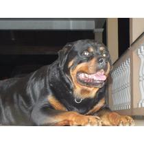 Rottweiler Filhote Gigante Alemão Pronta Entrega