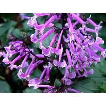 Monalisa ( Planta ) , Flor De Espuela Zulu , Sombra - Semiso