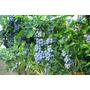 Plantas De Arandano - Blueberry - Cercos Frutales
