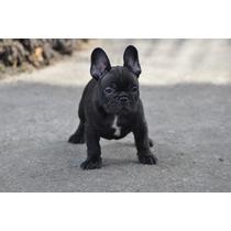 Bulldog Frances Macho Excelente Filhote Pedigree Cbkc