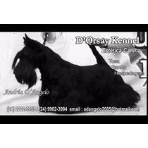 Scotish Terrier -hospedagem - Banho E Tosa Itaipava -rj