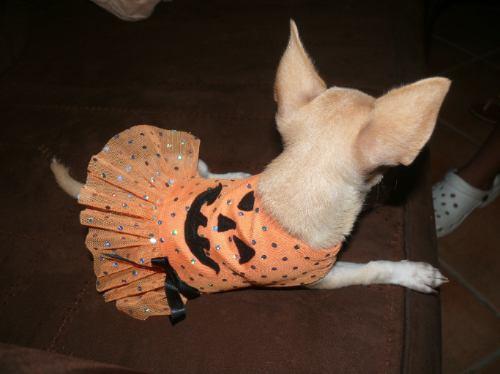 Ropa para perro disfraz de calabaza tu mascota luci nvd - Trajes de calabaza ...