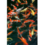 Poster (58 X 87 Cm) China Hong Kong Kowloon Koi Carp In Nan