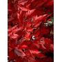 Acer Ginnala (arce Del Amor) 10 Semillas