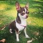 Chihuahua Con Pedigree Internacional Para Cruza (busca Novia