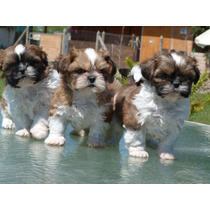 Shih Tzu - Shihtzu Cachorros Inscritos Kcc, Tarjetas