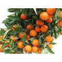 Frutal Mandarina Enana Japonesa Cascara Dulce