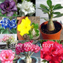 6 Rosas Del Desierto De 10 Cm. Envio Gratis