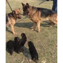 Cachorros Ovejero Aleman Rosario Mercadopago