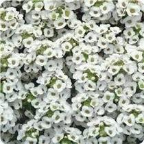 10 Sementes De Alyssum Branco Flor De Mel Lobularia Alicinha