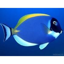 Peixe Marinho Powder Blue Tang (acanthurus Leucosternon) Gr