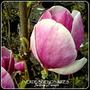 Magnolia Soulangeana/ Susan. 4litros. Z/ Mataderos