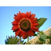 Girasol Velvet Queen 5 Semillas Rojo Flor Jardín Nmp Sdqro