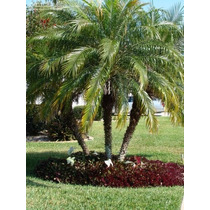 Mudas Palmeira Fênix ( 35 A 50cm )