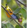 Morango De Arvore Calabura - Panama Berry Sementes P/ Mudas