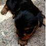 Vendo Yorkie Yorky York Shire Terrier Mini