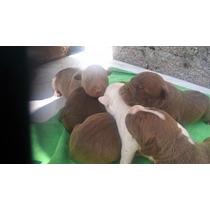 Se Venden Cachorros Pitbull $1800$