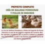 Proyecto Cria Gallinas Ponedoras