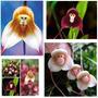120 Sementes Orquídea Cara De Macaco Mistas De 9 Espécies