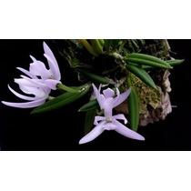 Micro Orquidea Leptotes Unicolor Enfeite Jardim 10 Sementes
