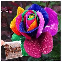 100 Sementes De Rosa Arco-iris (raras Exóticas )p Mudas
