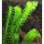Planta Acuatica Elodea + Cabomba + Cardamine = 15 Tallos