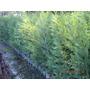 Oferton!! Plantas Para Cerco Leylandi Pinos Cercos