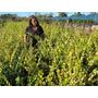 Oleo Texanum Aurea 40litros Ideal Para Cerco Vivero Iris