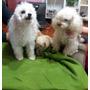 Cachorra Poodle Toys Nació 1abril2016 Vacunada Y Desparacita