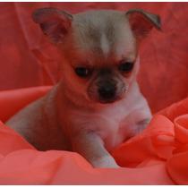 Chihuahuas Machitos Von Balssel,pague En Cuotas Sin Interes