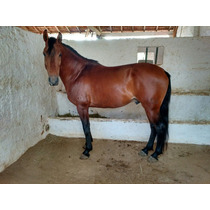 Cavalo Garanhão Mangalarga Marchador
