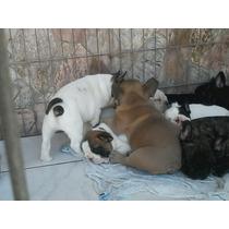Filhotes Bulldogue Frances..otima Linhagem..confira