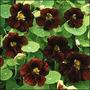 Exóticas Flores Enredaderas- Semillas Emperatriz De La India
